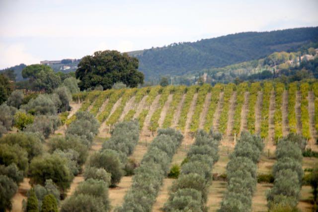 banfi azeitona vinhedo
