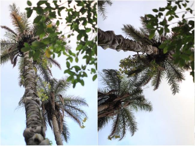 Caravela coqueiro